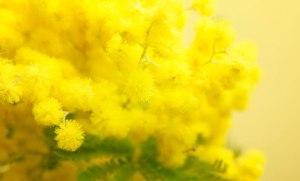 mimosa-perche
